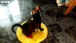 Cat Like a BOSS Funny Vdeo