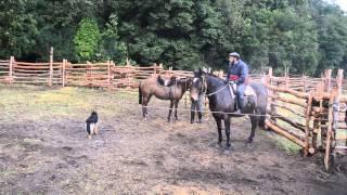 Wild bulls in Chilean Patagonia thumbnail