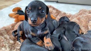 snuggling-dachshund-puppies