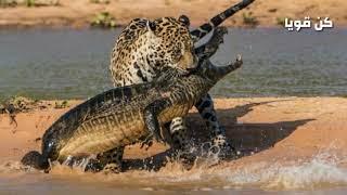 عندما يجوع الجاكوار لا يرحم الفرائس / عالم الحيوانات المفترسة