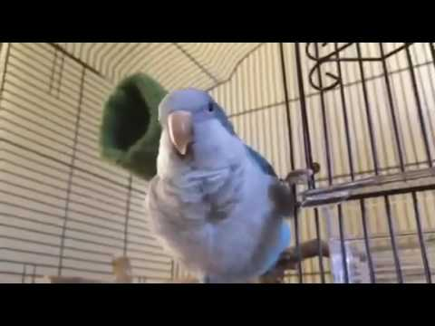 Quaker Parrots (Blue)