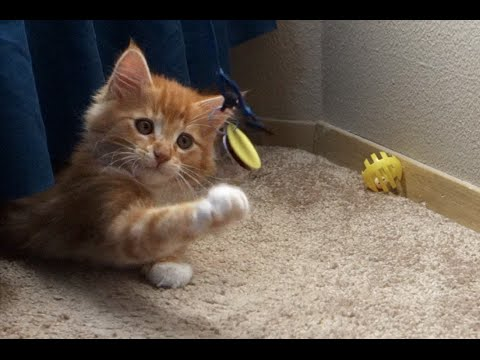 CUTEST Ginger Maine Coon Kitten EVER!