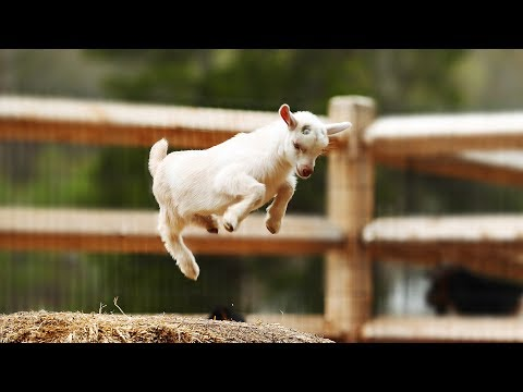 Most Funny and Cute Baby Goat Videos Compilation (2018)