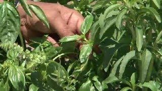 Trimming Basil : Herb Gardening