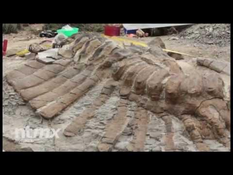 Analizan expertos del INAH cola de dinosaurio en Coahuila