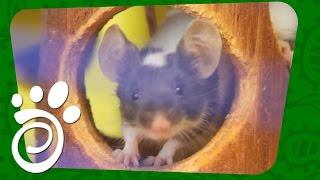 Японская Декоративная Мышь (Часть Первая). Все О Домашних Животных