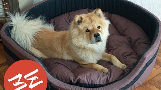 Забавно видео: Crazy chow chow plays with ball - Carrie