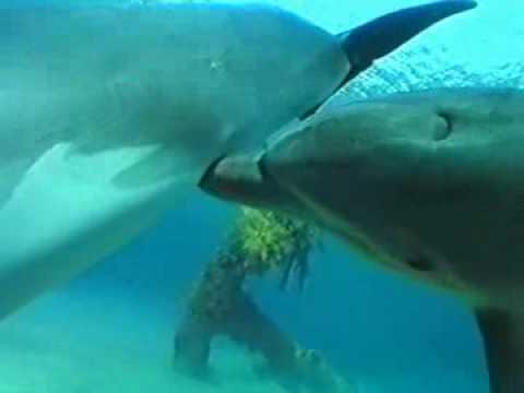 Как спариваются дельфины видео
