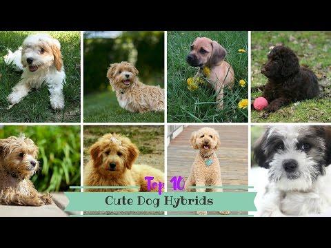 Top 10 Cute Dog Hybrids