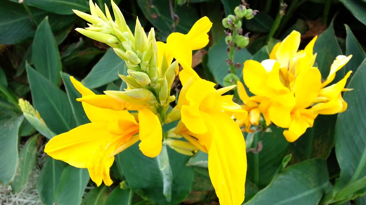 Canna Plant Yellow Flowers Canna Lily Hd 06 Youtube