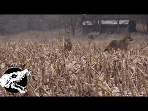 coyote hunting – late season tactics