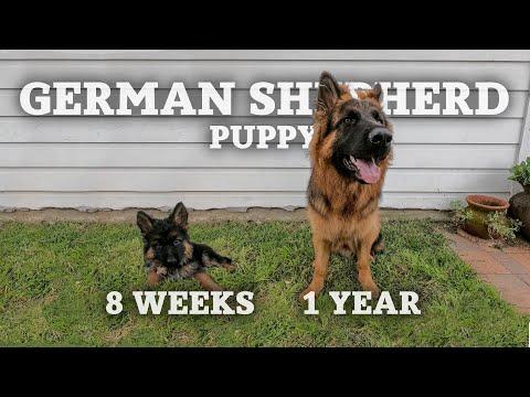 German Shepherd Puppy Growing 8 Weeks To 1 Year | GoPro Time Lapse