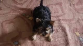 неугомонная собака ЙОРКШИРСКИЙ ТЕРЬЕР  2 МЕС