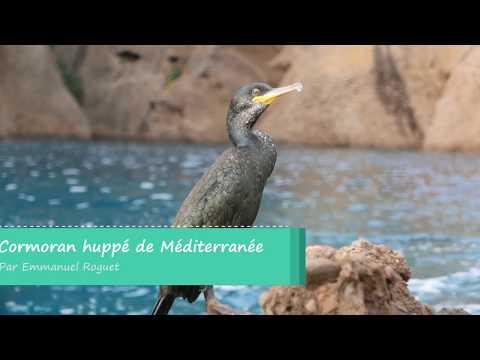 Cormoran huppé de Méditerranée (Phalacrocorax aristotelis desmarestii) - European Shag (desmarestii)-2
