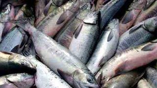 Лов кеты на Амуре, сплавной сетью .(Рыбалка сетями, Лов кеты на Амуре сетям, Конц хода рыбы долавливаем последние хвосты, в сам ход было реально..., 2016-09-23T21:54:19.000Z)