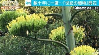 数十年に一度しか花をつけない「世紀の植物」の開花の様子がニュース投...