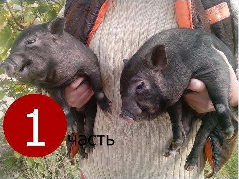 Вьетнамские свиньи. История одного семейства.