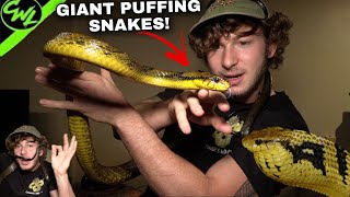 GIANT PUFFING SNAKES & MORE!!!