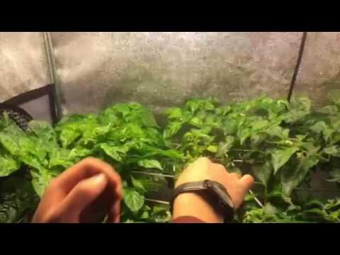 Guida coltivazione | botanica urbana grow shop coltivazione.
