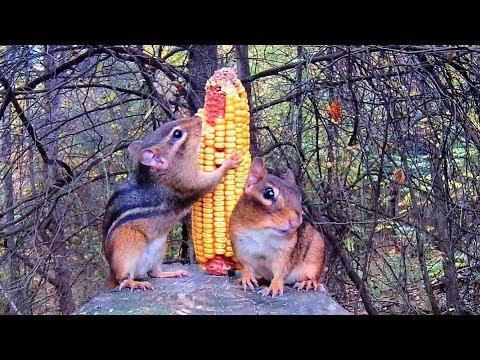 Video for Cats - Chipmunks Versus Corn Cob