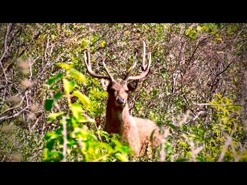 Hunting Rusa deer in the roar in New Caledonia part 49(Meat and trophy hunt)