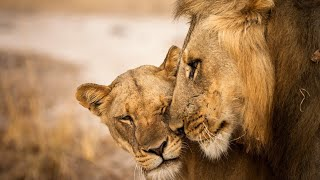 Incredible sightings of LIONS & LEOPARDS on safari in Zambia
