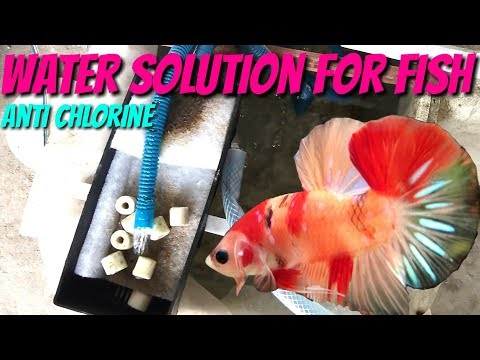 How To Process Water For Betta Fish - Chlorine Removal