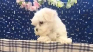 犬種 マルチーズ 生年月日 2016/05/06 性別 ♂ 毛色 ホワイト.