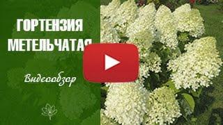 видео Лучшие сорта гортензии