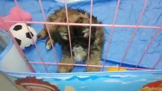Puppy Play Pen Set Up - Shih Tzu 10 Weeks Old - Moxy