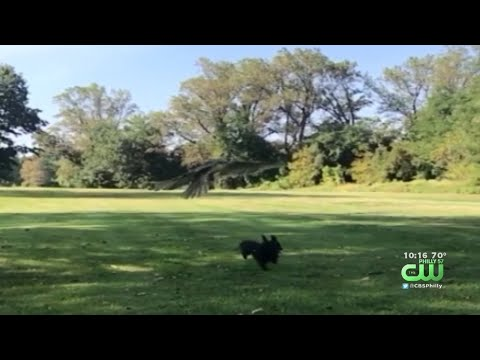 The Mo & Sally Show - Hungry Hawk Almost Grabs A Tiny Dog At A Park