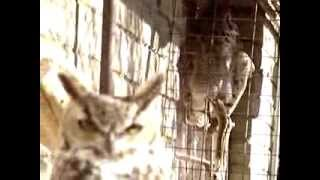 Smitty The Great Horned Owl