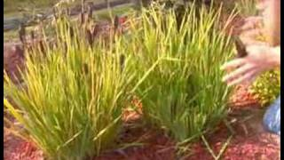 Tips for Cutting Iris Blades in Transplanting