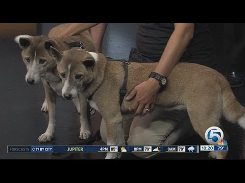 New Guinea Singing Dogs from Palm Beach Zoo visit WPTV
