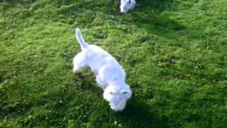 "West Highland White Terrier ""fluqui"" Y ""coki"""