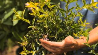 How Do I Space Lilacs When Planting? : Garden Savvy