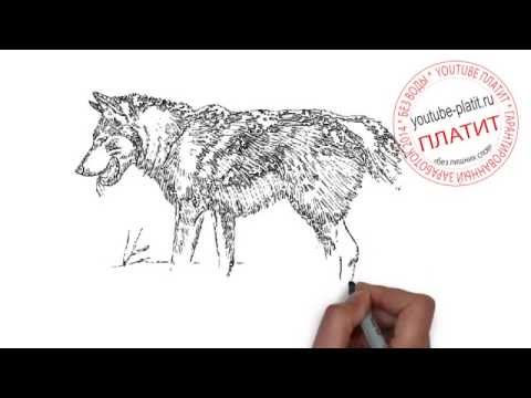 Картинки волков поэтапно. КАК НАРИСОВАТЬ ВОЛКА карандашом