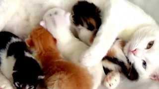 Видео о кошках.Кошка с котятами