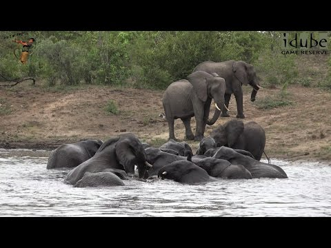 Swimming Elephant Herd