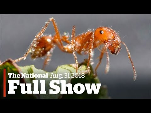 The National for Thursday August 31st: Texas fire ants, neo-natal webcams,  Air Transat testifies