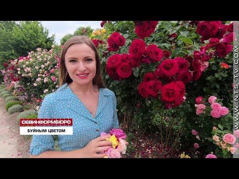 НТС Севастополь: Крымские садоводы адаптируют импортные сорта роз к местному климату