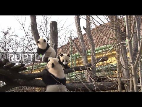 Austria: Two panda cubs take first trip outside their Vienna zoo compound