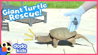 Snapping Turtle Sneaks Into Family's Backyard And Doesn't Want To Leave | Rescued! | Dodo Kids