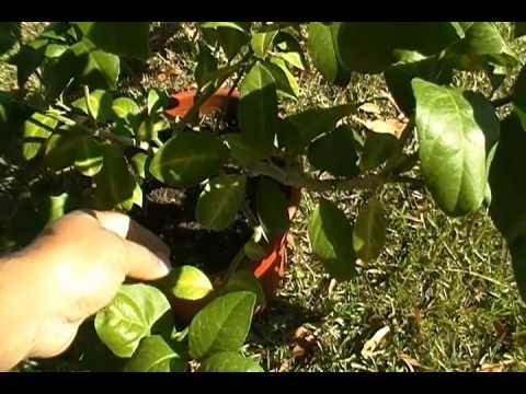 Meyer Lemon Tree Leaves Are Curling Help Me Youtube