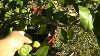 meyer lemon tree leaves are curling! HELP ME!!!!!