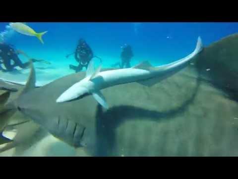 Bahamas Tigers Sharks Guide Toppicks