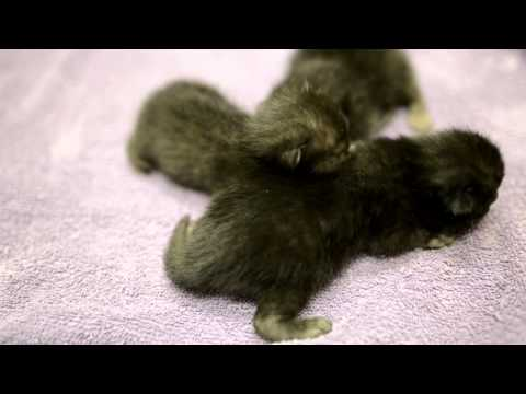 Teeny Tiny Lykoi Cat babies!