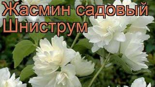 Жасмин садовый Шниструм ???? садовый жасмин Шниструм обзор: как сажать, саженцы жасмина Шниструм