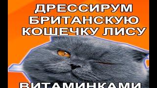 ДРЕССИРОВКА БРИТАНСКИХ КОШЕК. ВИДЕО. Прикольное видео - как дрессируем британскую кошку ВИТАМИНКАМИ