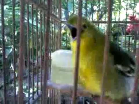 Suara Burung Cipoh Belajar Ngicau